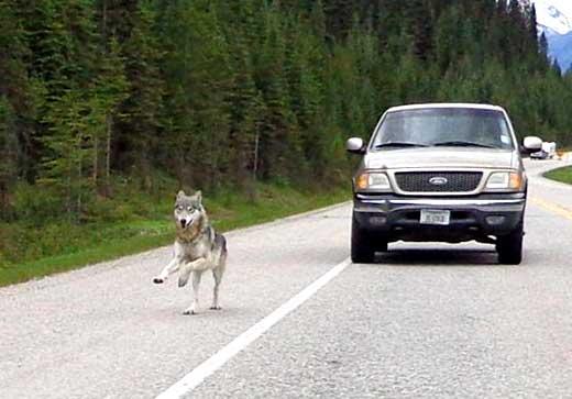 Вълк по петите моторист в Канада 01